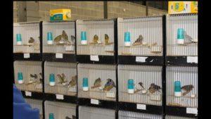 Grote vogelmarkt in Barneveld